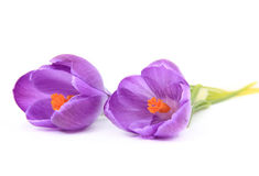 Beautiful Spring Crocus Flowers Royalty Free Stock Images
