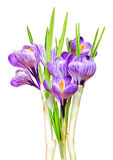 Beautiful spring crocus.i. Solated on white Stock Photography