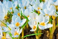 Beautiful spring crocus macro dissolve Royalty Free Stock Photos