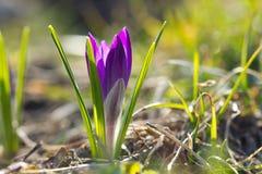 Beautiful spring crocus and sun Royalty Free Stock Photo