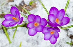 Beautiful spring crocuses Royalty Free Stock Images