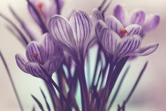 Spring crocuses Royalty Free Stock Images