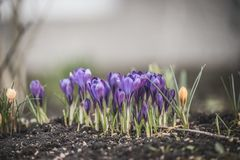 Beautiful spring crocuses on the ground in a park or forest, blue, toning on a natural background. Beautiful spring crocuses on the ground in a park or forest royalty free stock photos