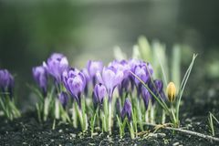Beautiful spring crocuses the ground in a park or forest, blue, toning on a natural background. Beautiful spring crocuses on the ground in a park or forest, blue stock photos