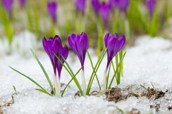Beautiful spring crocuses Stock Photos