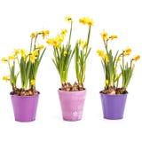 Daffodils flowers Stock Photos