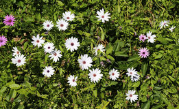 Beautiful Spring Daisies. A patch of white and purple springtime daisies Royalty Free Stock Photos