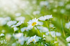 Beautiful spring daisy Stock Photos