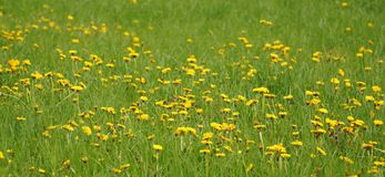 Beautiful spring and dandelion blooms Stock Photo