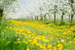 Beautiful spring dandelion flower meadow in white blossom orchar Stock Photos