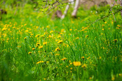 Beautiful spring dandelion flowers background Stock Photos