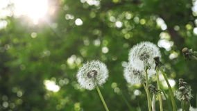 Beautiful Spring Dandelion Flowers in the Morning. Low Angle Shot stock video