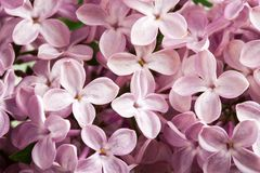 Beautiful spring delicacy lilac flowers Stock Image