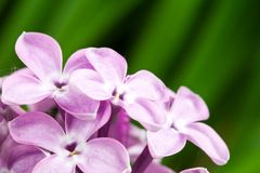 Beautiful spring delicacy lilac flowers Royalty Free Stock Photo