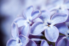Beautiful spring delicacy lilac flowers Stock Photo