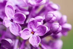 Beautiful spring delicacy lilac flowers Stock Photography