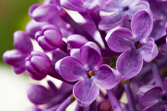 Beautiful spring delicacy lilac flowers Royalty Free Stock Photography