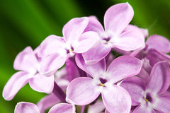 Beautiful spring delicacy lilac flowers Royalty Free Stock Images