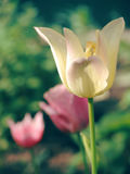 Beautiful spring floral background with tulips. Royalty Free Stock Photos