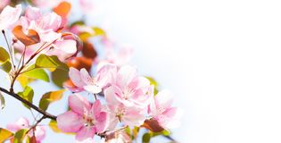 Beautiful spring floral nature landscape. Blossoming fruit tree branch in the garden, pink petal flowers in the rays of Royalty Free Stock Photography