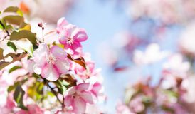 Beautiful spring floral nature landscape. Blossoming fruit tree branch in the garden, pink petal flowers in the rays of Stock Photos