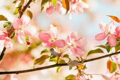 Beautiful spring floral nature landscape. Blossoming fruit tree branch in the garden, pink petal flowers in the rays of stock photo