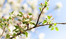 Beautiful spring floral nature landscape. Blossoming fruit tree branch in the garden, pink petal flowers in the rays of royalty free stock images