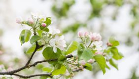 Beautiful spring floral nature landscape. Blossoming fruit tree branch in the garden, pink petal flowers. Soft focus stock image