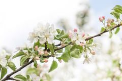 Beautiful spring floral nature landscape. Blossoming fruit tree branch in the garden, pink petal flowers. Soft focus royalty free stock images