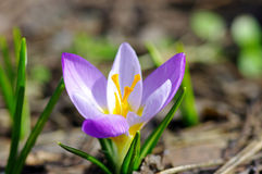 Beautiful Spring Flower Stock Images