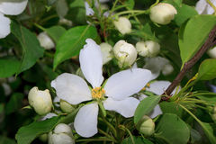Beautiful spring flower on a apple tree. Royalty Free Stock Photos
