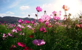 Beautiful spring flower blossom with mountain and blue sky. Selected focus.  royalty free stock photo
