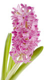 Beautiful spring flower of colour hyacinth Stock Images