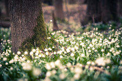 Beautiful spring flower with dreamy fantasy blurred bokeh background. Fresh outdoor nature landscape wallpaper. Leucojum vernom flower in full bloom royalty free stock photo