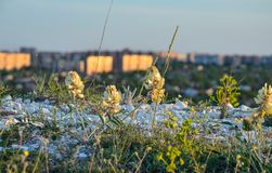 Beautiful spring flower on the meadow against the blue sky and the city stock photo