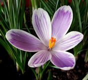 Beautiful spring flower. Beautiful pink crocus in a forest Royalty Free Stock Photography