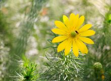 A beautiful spring flower of yellow royalty free stock image