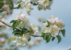 Beautiful spring flowering tree, the delicate white flowers of the Apple tree Stock Image