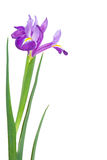 Beautiful spring flowers Stock Photography