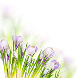 Beautiful Spring Flowers Royalty Free Stock Photos