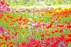 Beautiful spring flowers. Beautiful spring colorful flowers in garden Stock Photos