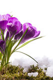 Beautiful Spring Flowers Stock Photo
