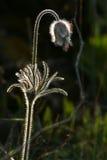 Beautiful spring flowers. Beautiful spring flower Pulsatilla patens Stock Image