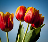 Beautiful spring flowers. Red-yellow pulips stock photos