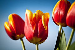 Beautiful spring flowers. Red-yellow pulips stock image