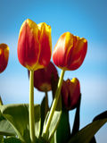 Beautiful spring flowers. Red-yellow pulips royalty free stock photo