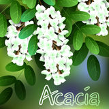 Beautiful spring flowers acacia. Cards or your design with space for text. Vector Royalty Free Stock Photos