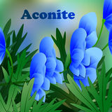 Beautiful spring flowers Aconite. Cards or your design with space for text. Vector. Illustration Royalty Free Stock Photo