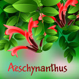 Beautiful spring flowers Aeschynanthus. Cards or your design with space for text. Vector Royalty Free Stock Photos