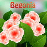 Beautiful spring flowers Begonia. Cards or your design with space for text. Vector Royalty Free Stock Photo